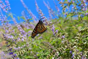 A monarch rests at our school while migrating south