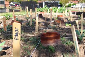 3rd grade cabbage plants